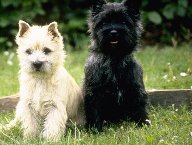 Briard Dog Photo Briards Boy And Girl Little Cute Puppies