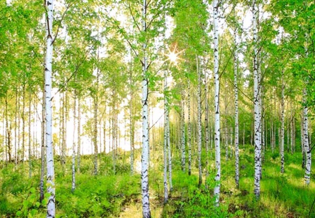 fototapete wald Wald Lichtung Sonne Grün Natur Birke Bäume - wandbilder wohnzimmer grun
