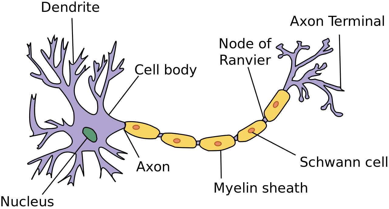This is a diagram that shows the various parts of a neuron. It ...