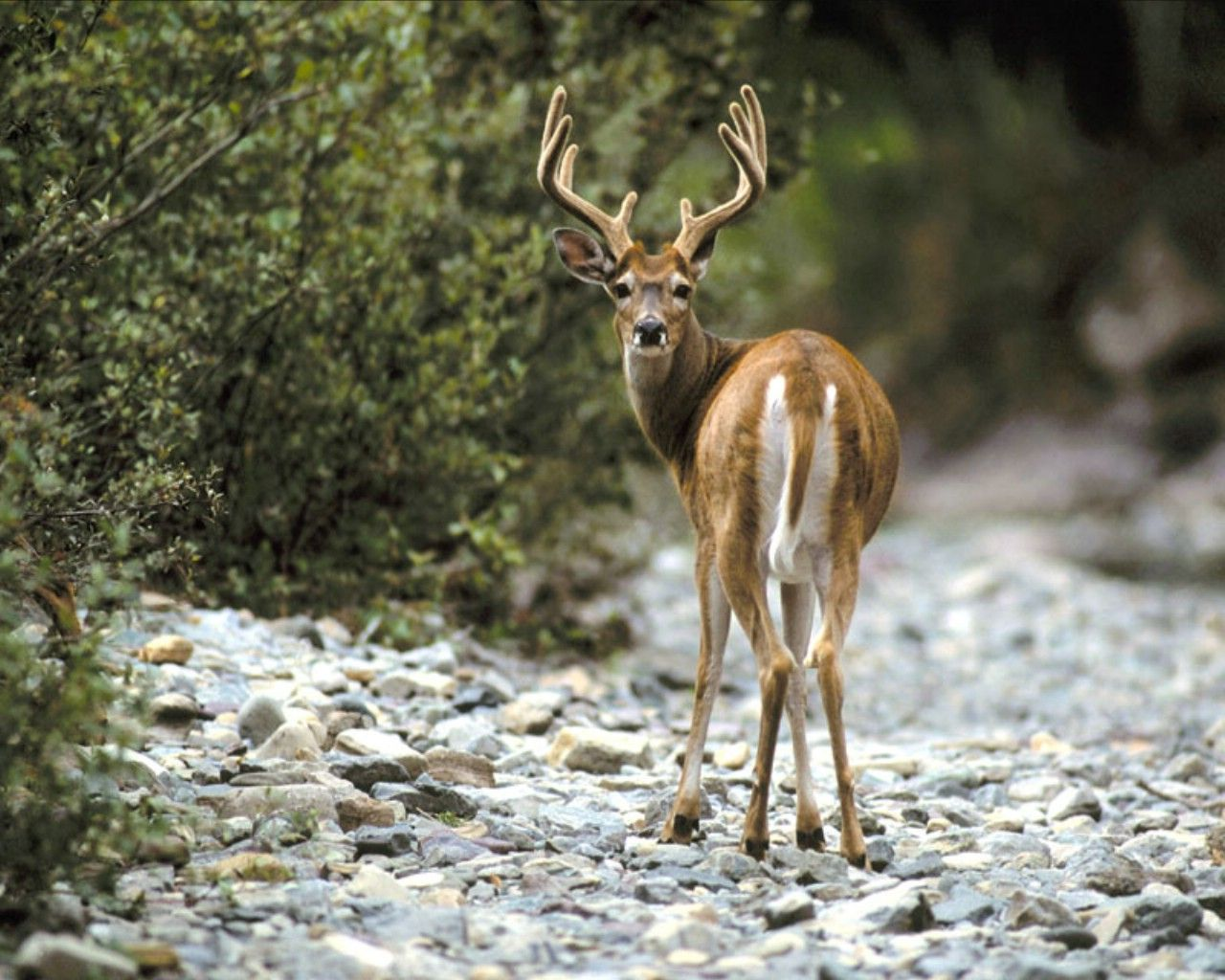 Whitetail deer images 19 whitetail deer wallpaper whitetail deer whitetail deer images 19 whitetail deer wallpaper whitetail deer wallpaper hd voltagebd Image collections