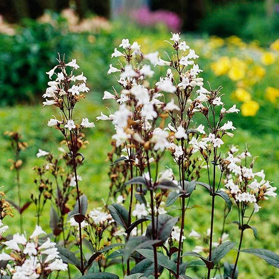 Penstemon Produces Attractive Spikes Of Tubular Perennial Flowers In Pink Blue Lavender White