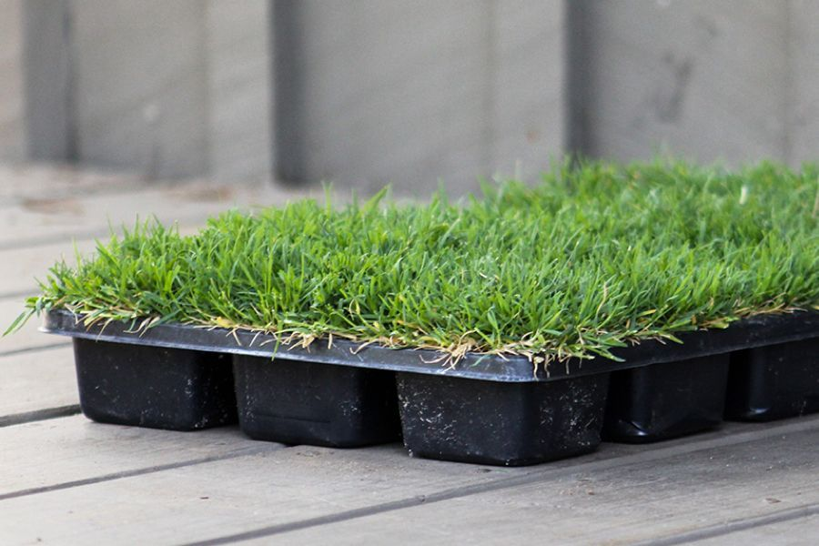 A Container Of Plugs Bermuda Grass Grass Seed Grass Plugs