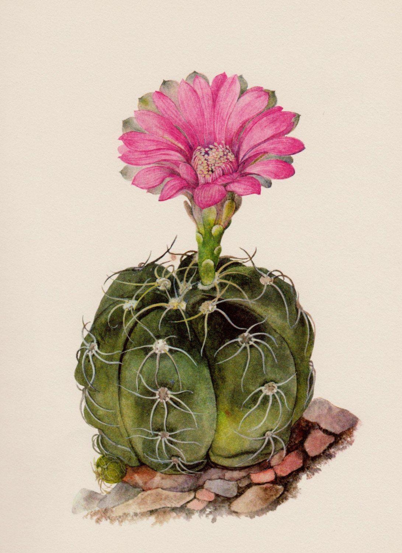 Photo of Antique Botanical Print Cactus Art Print Pink Spider Cactus Illustration Flower Wall Art Cottage Desert Decor Gift for Friend 5340-50