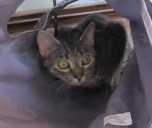 Ashes is an adoptable Scottish Fold Cat in Williamstown, NJ. Ashes is a bold and silly young cat, about a year old. Her caregiver died and she was surrendered after family members could no longer keep...