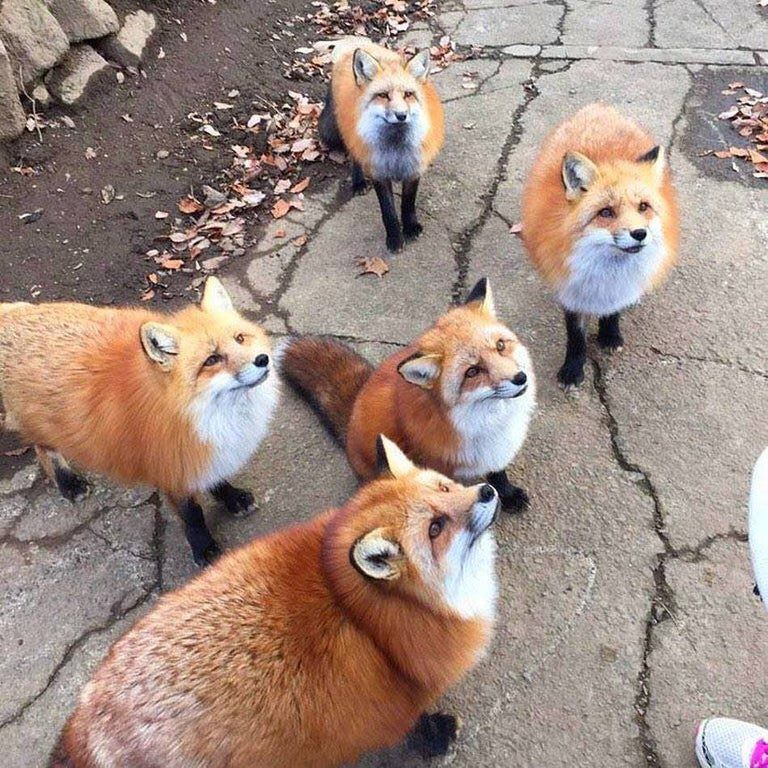 Group Of Foxes