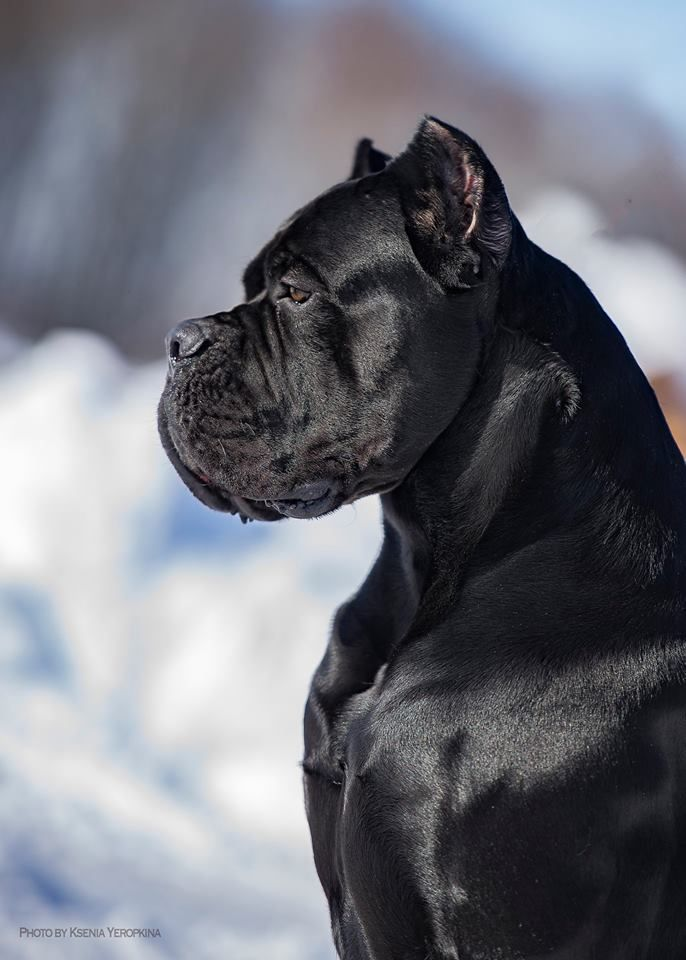 Real Black Man Iz Dinastii Kantemirovykh Corso Dog Cane Corso