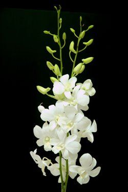 Dendrobium big white buy dendrobium orchid product on alibaba dendrobium big white buy dendrobium orchid product on alibaba mightylinksfo