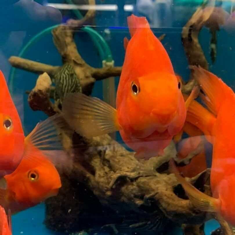 Super Red Ingot 5 5 6 In Length 34 50 One Day Shipping Cichlids Fish Tank Fish Pet