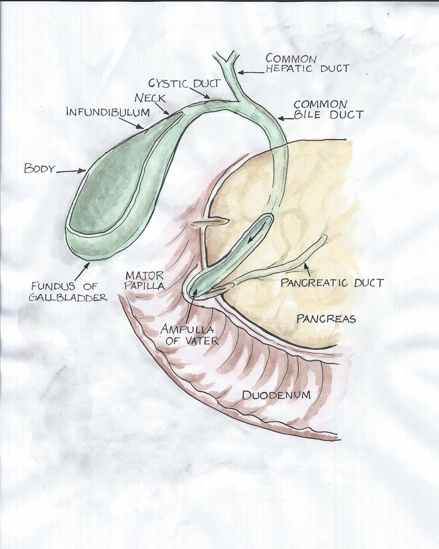 Gallbladder-Pancreas-Duodenal-Anatomy-Pinfinity-The-Gallbladder ...