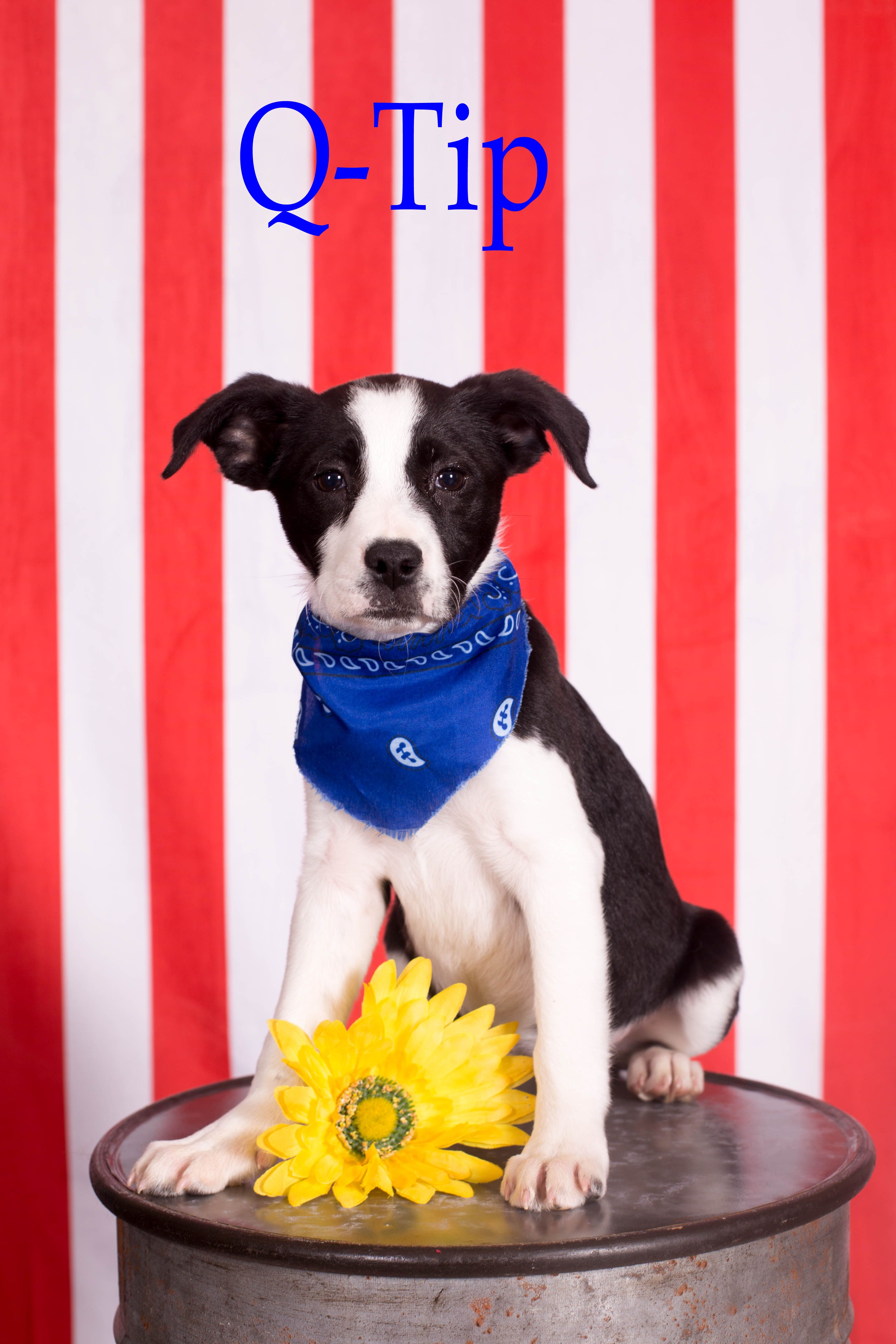 Adopt Q Tip on Mixed breed puppies, Help homeless pets
