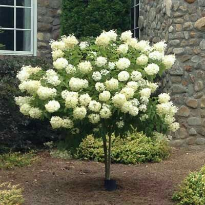 Limelight Hydrangea Tree 6 8 Tall 4 5 Wide Deciduous Blooms In Early Summer Fall Plant In Full Sun Landscaping Trees Front Yard Landscaping Hydrangea Tree