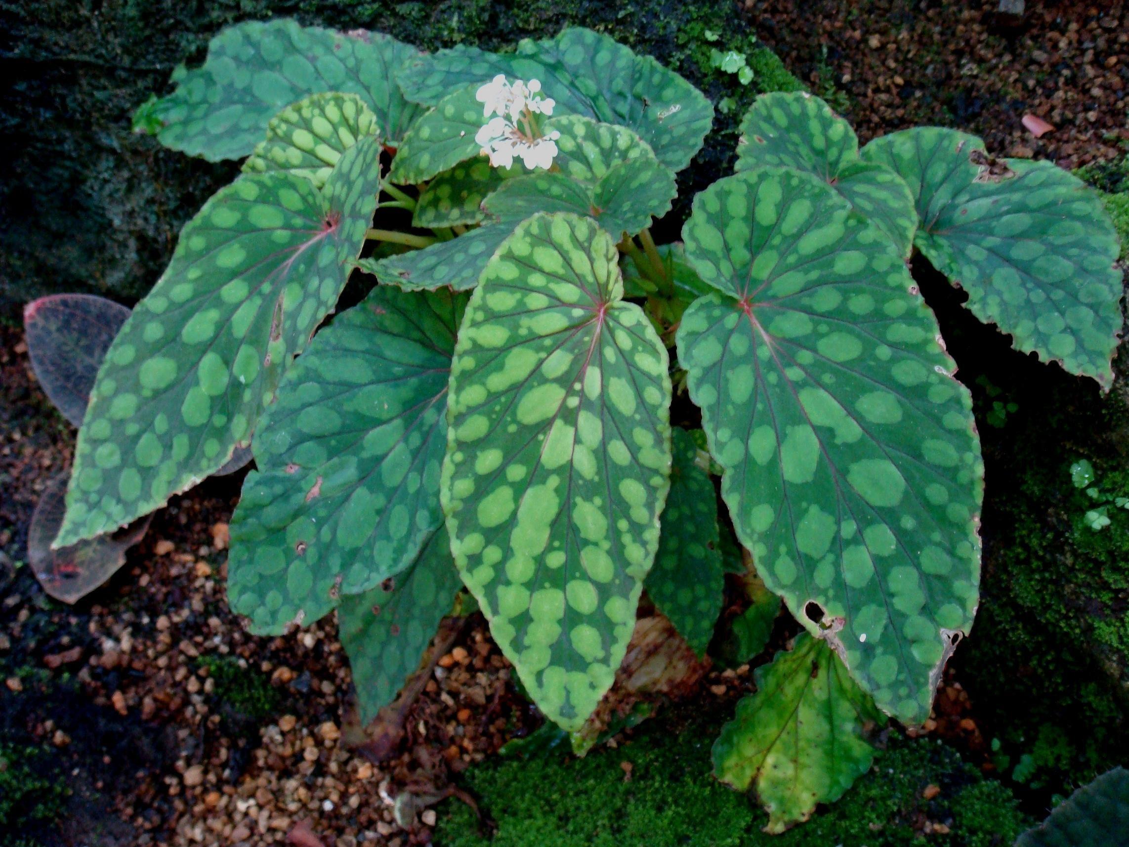 Begonia Chlorosticta Again Begonia Plant Fungus Plants