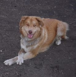 Doogie is an adoptable Australian Shepherd Dog. He is a 10 month old male Aussie/Golden Retriever mix. He is very sweet and loveable however he does not do well with cats or chi...