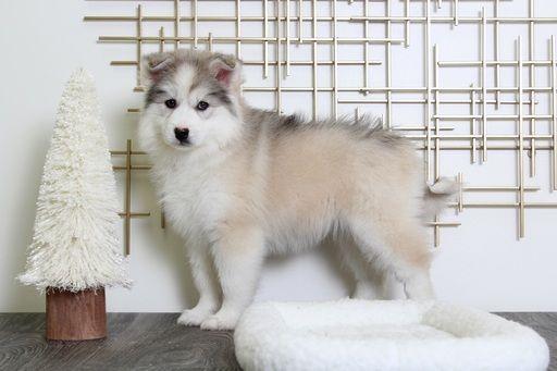Huskimo Puppy For Sale In Bel Air Md Adn 60464 On Puppyfinder