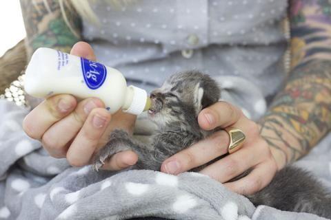 Neonatal Kitten Warrior Hannah Shaw Feeding Kittens Kitten Kitten Formula