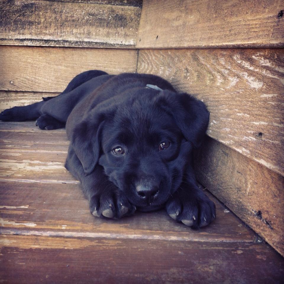 Birds And Baking Dog Love Black Lab Puppies Labrador Retriever