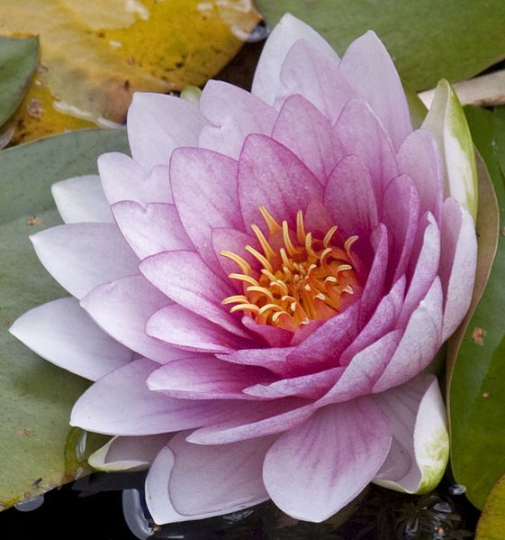 Water lily is used to describe aquatic plants of the following water lily is used to describe aquatic plants of the following families which have lily pads nymphaeaceae nmfiesi is a family of flowering mightylinksfo