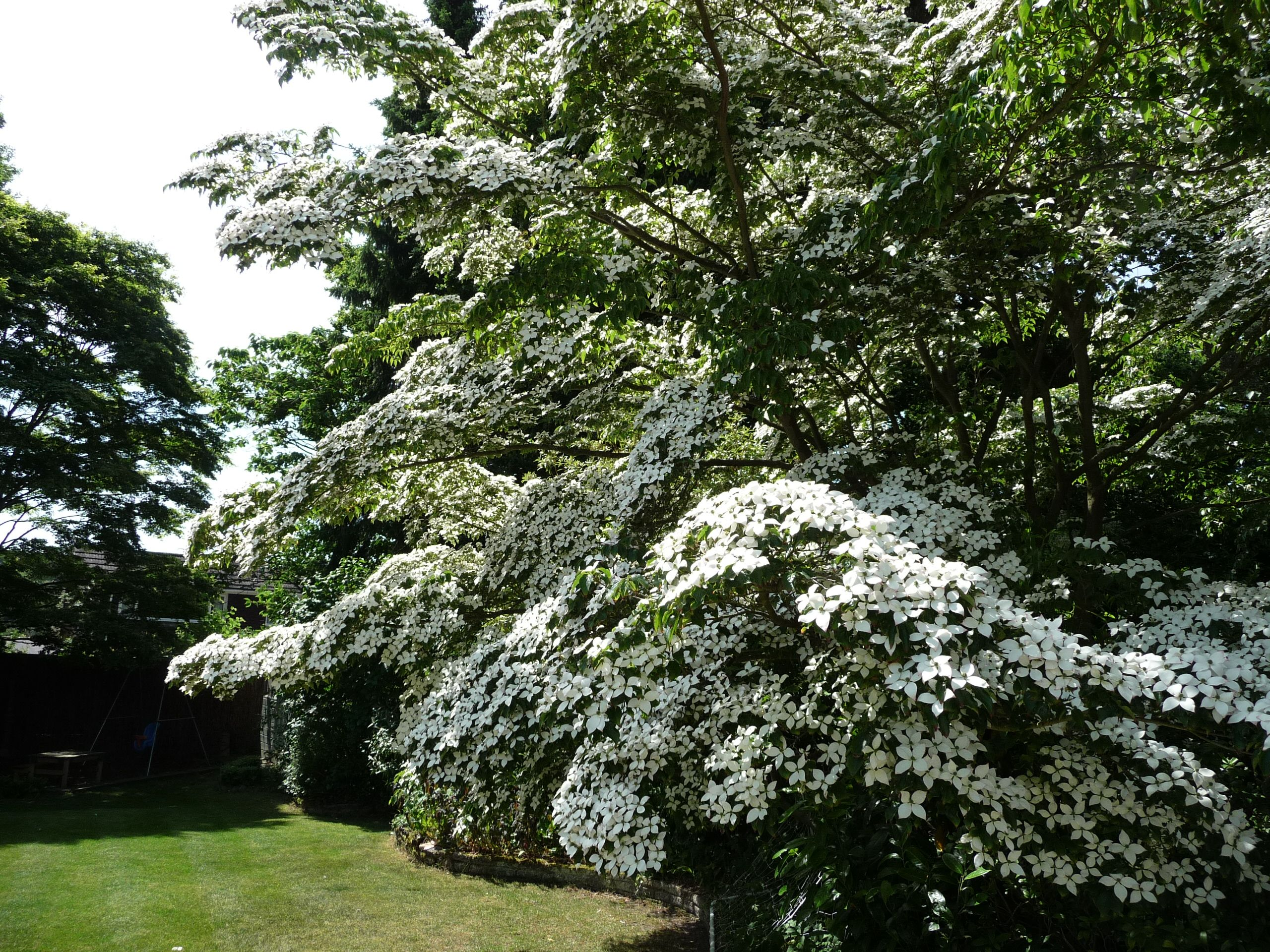 One of the most spectacular trees I've ever owned. Cornus
