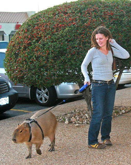 一風変わったペットを飼っているお宅のお散歩風景 カラパイア 珍しい動物 ペット用品 ペット