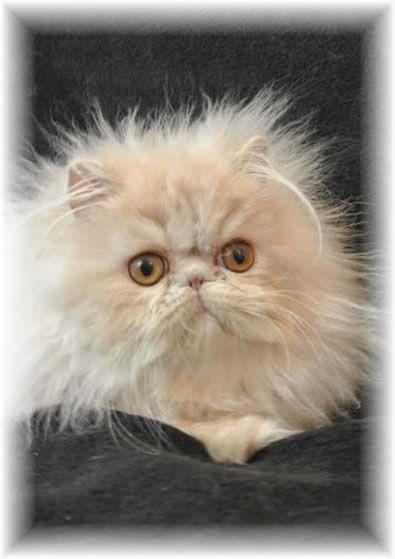 Show Felines Persians And Himalayans Cats And Kittens Kato S Baby Himalayan Persian Cats Beautiful Cats Cat Spray