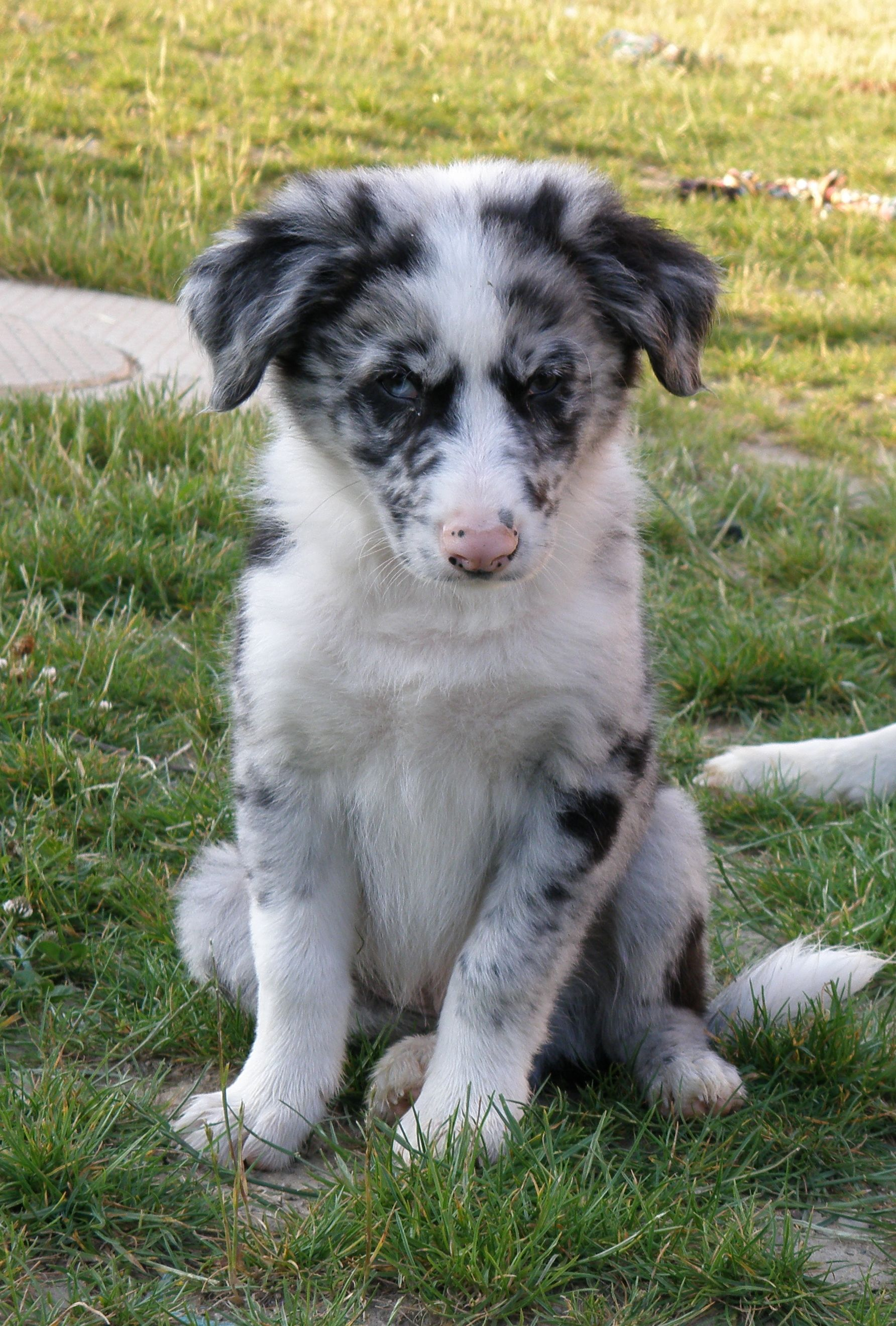 Filou Border Collie Bleu Merle Border Collie Animals Dogs