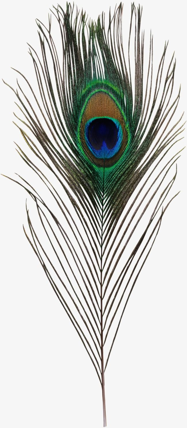 Peacock Feather Peacock Clipart Peacock Feather Png Transparent Clipart Image And Psd File For Free Download Peacock Feather Art Feather Drawing Feather Painting