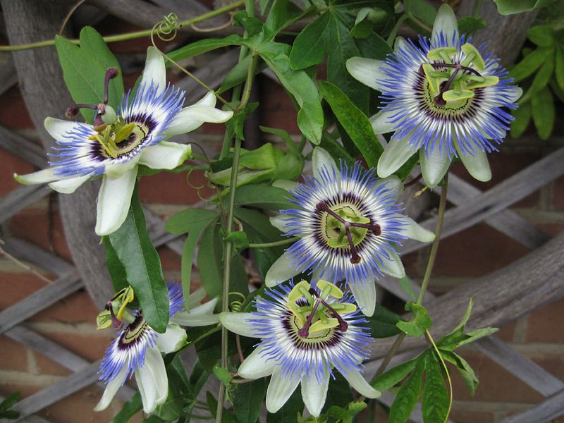 Pen S Blog Sun Loving Container Plants For Roof Garden Screen Passiflora Caerulea Blue Passion Flower Passion Flower