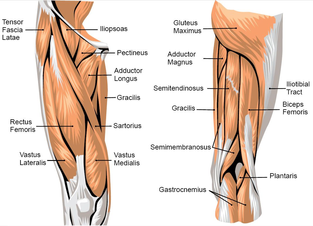 anatomy of leg and knee  knee muscle anatomy pictures keeping, Muscles
