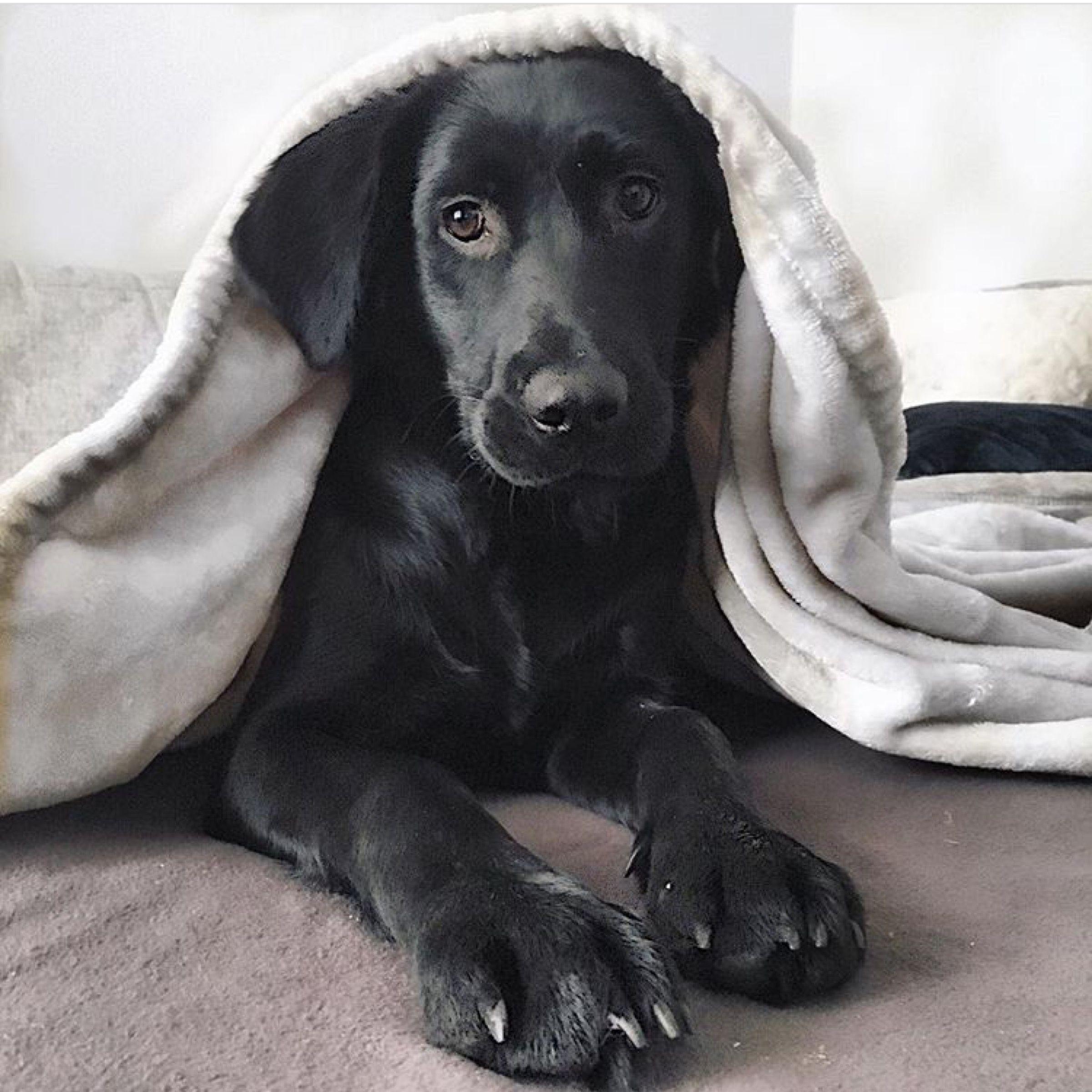 Gorgeous Black Springador Puppy Dog Springer Spaniel Cross With