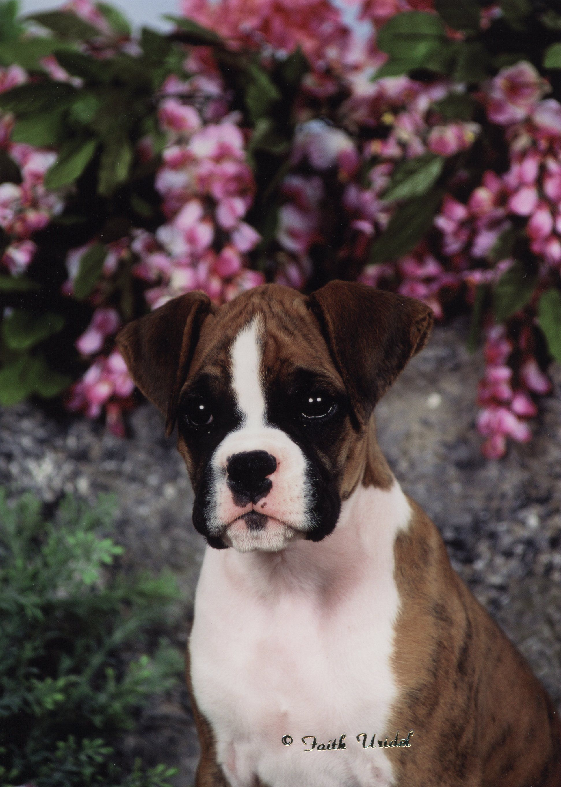IvysPage Boxer dogs, Boxer puppies, Pitbull puppies