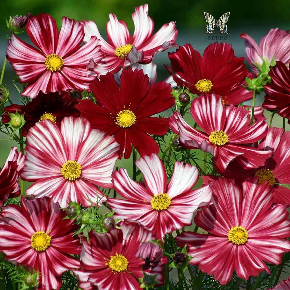 Cosmos Velouette Cvety Priroda Trava