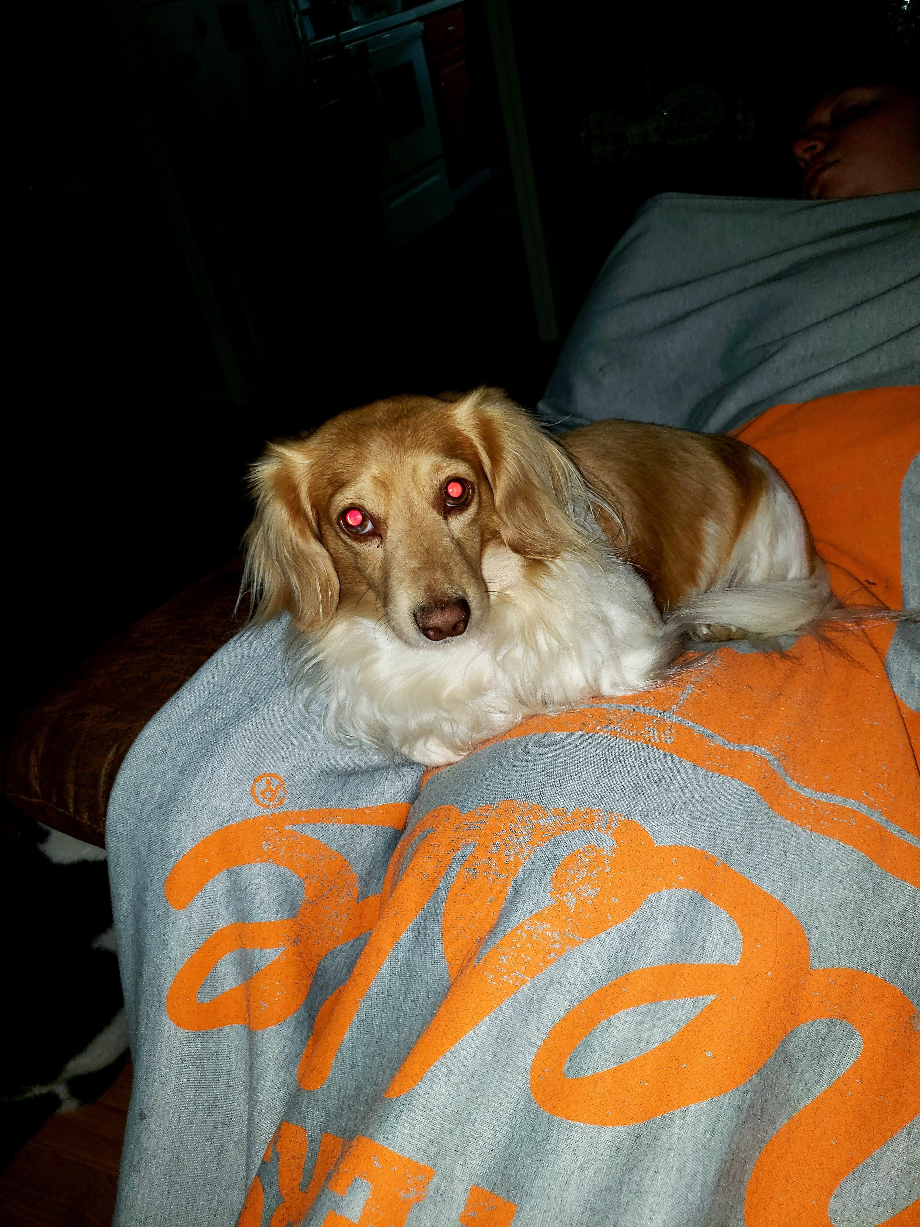 My Evil Looking Dachshund Henry Music Indieartist Chicago