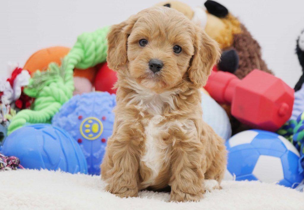 Miniature Cavoodle Puppies For Sale Chevromist Kennels