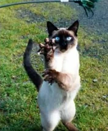 Karate Kitties Cats Crazy Cats Tonkinese Cat