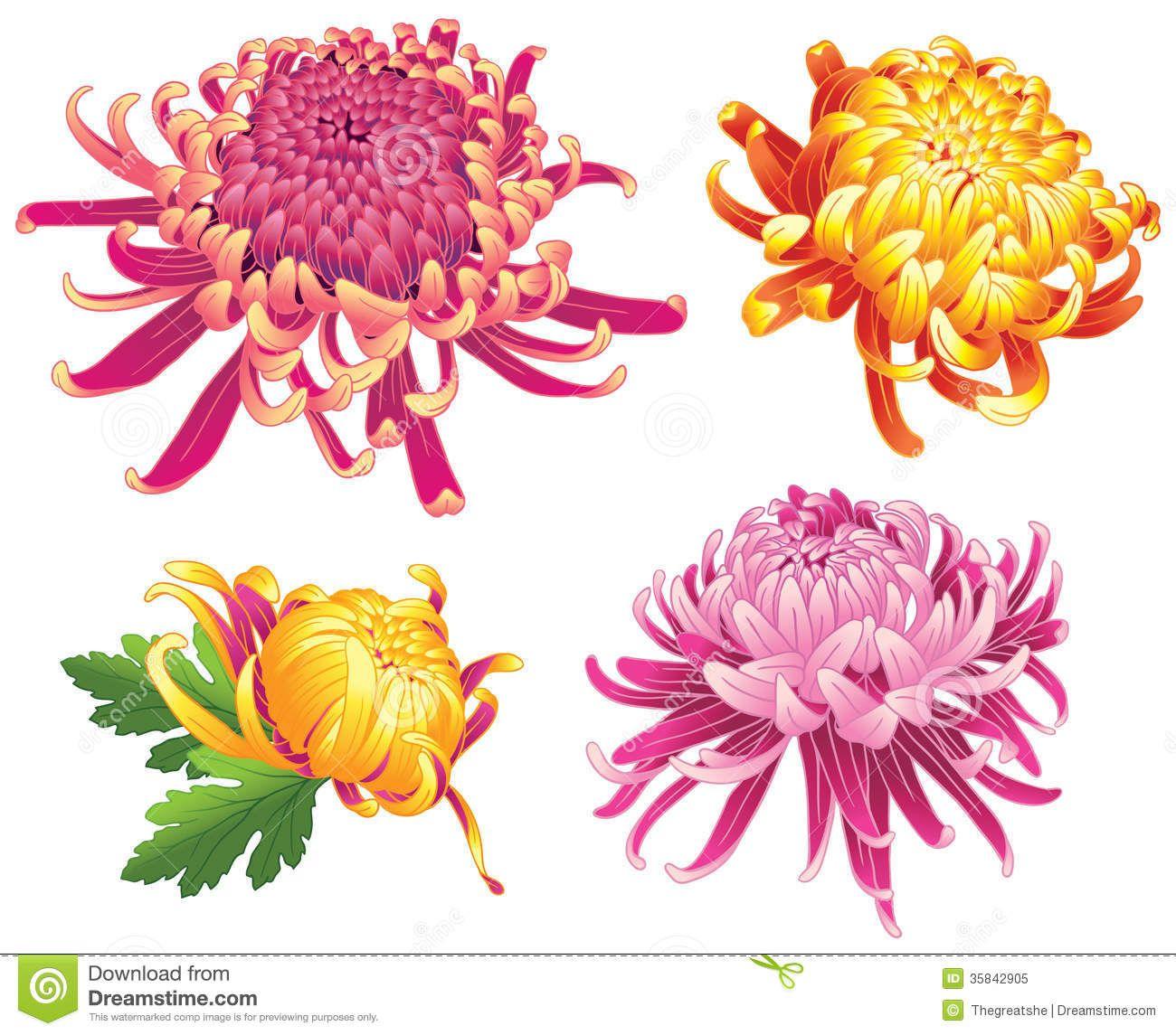 Chrysanthemum Flower Blossoms Color Royalty Free Stock Photo Image 35842905 Chrysanthemum Flower Chrysanthemum Drawing Chrysanthemum Tattoo