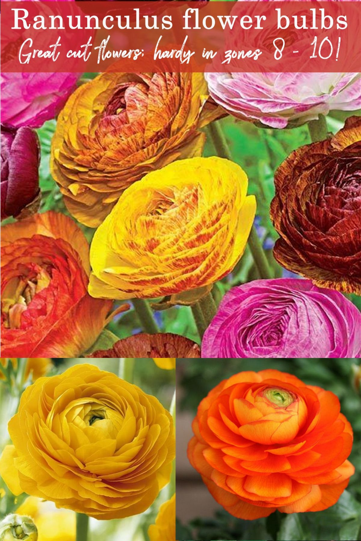 10 Ranunculus Flower Bulbs All 10 Of One Color Or Mix Double Telecote Sz 7 8 Ebay Bulb Flowers Flowers Ranunculus