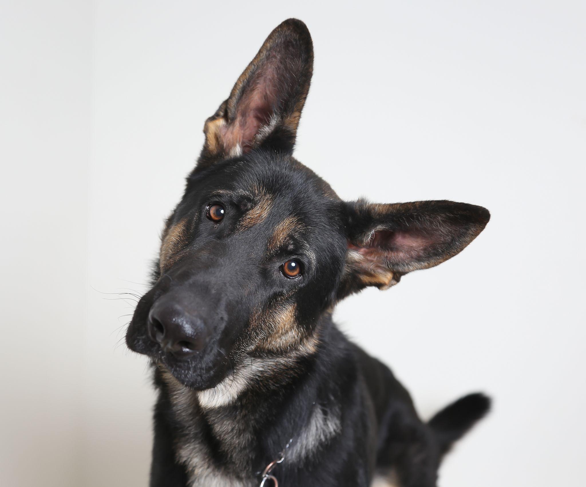 German Shepherd Dog Dog For Adoption In Eden Prairie Mn Adn