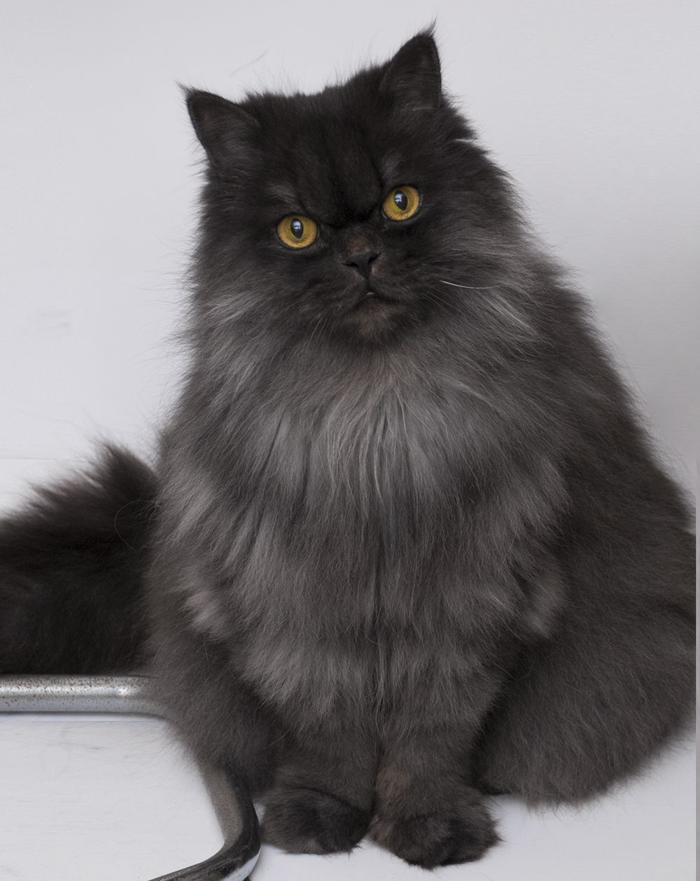 Gordi This Cat Is Pretty Fabulous Eye Color Is Kinda Freaky Pretty Kitty Though Fancy Cats Cats Pretty Cats