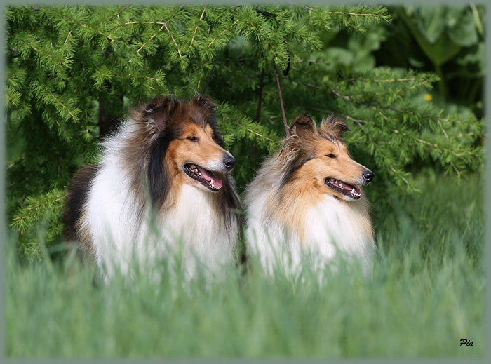 Danlyn Rough Collies Links Collie