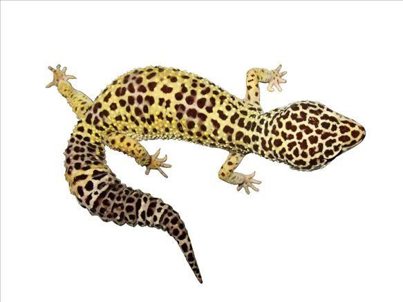 Pin By Dawn Creason On Board 6 Lizard Leopard Gecko Reptiles And Amphibians
