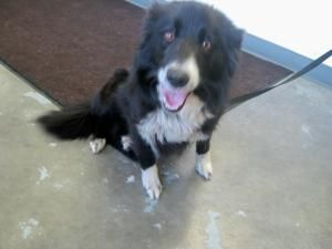 Jodie Is An Adoptable Border Collie Dog In Summersville Wv Jodie