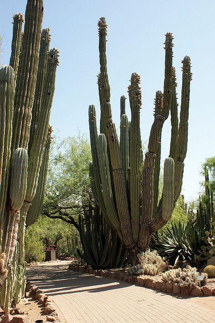 Cacti at Desert Botanical Garden #botanicgarden