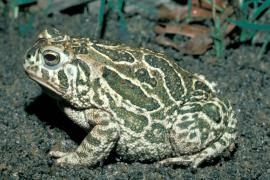 """Great Plains Toad: The skin is covered with many small warts. Unlike other true toads in Missouri, the Great Plains toad has a raised hump (known as a """"boss"""") between the eyes. Look for it along the Missouri River floodplain from the Iowa border to about Hermann. 