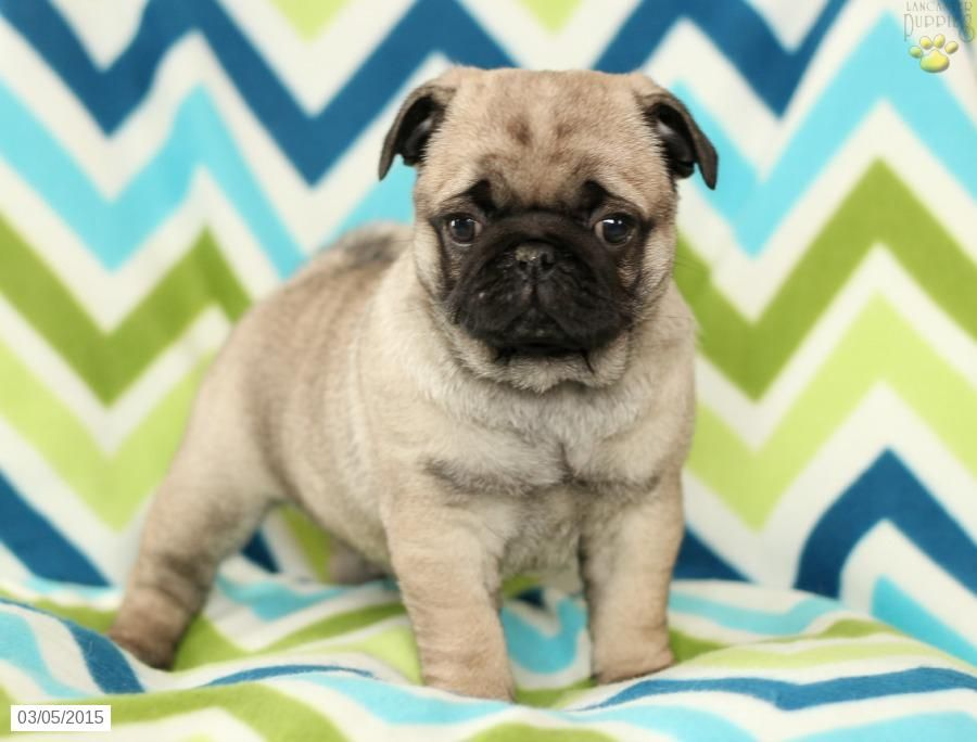 Pug Puppy for Sale in Pennsylvania Pug puppies for sale