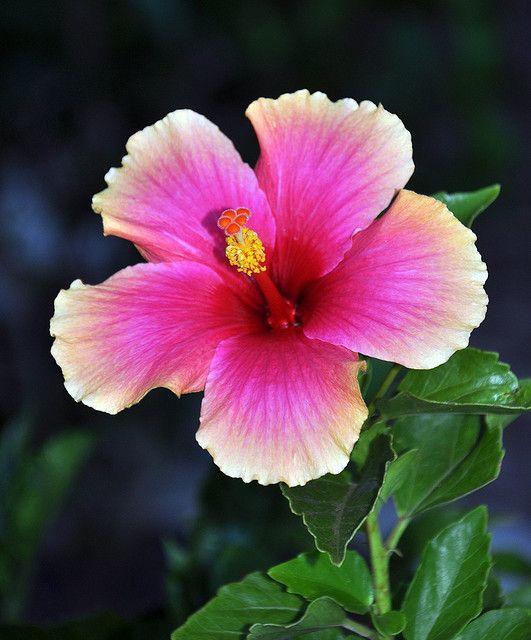 Maui Flowers Beautiful Flowers Hibiscus Flowers Hawaiian Flowers