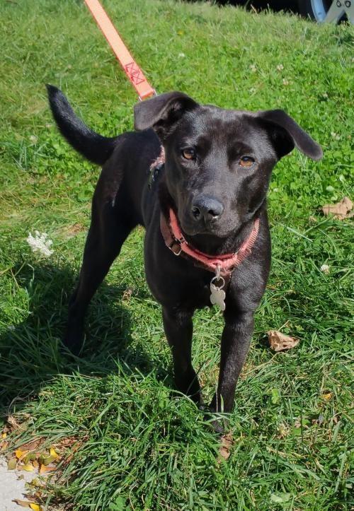 Adopt Cassie The Mini Lab On Black Labrador Retriever Black
