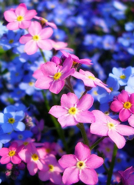 Pink Forget Me Not Flowers   Recent Photos The Commons Getty Collection Galleries World Map App ...