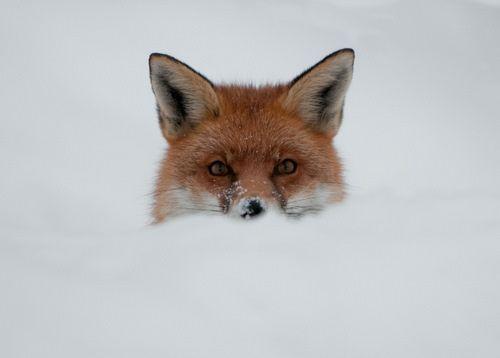 """Képtalálat a következőre: """"fox snow"""""""