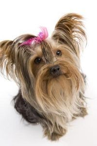 what fruits can yorkies eat