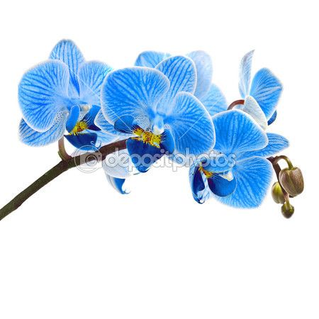 Beautiful Flower Orchid Blue Phalaenopsis Close Up Isolated On White Background Blue Flower Art Blue Orchid Flower Blue Orchids